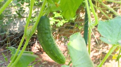 Large Cucumber Growing on the Vine Stock Footage
