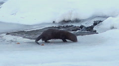 Mink Hunt For Fish Winter Creek Stock Footage