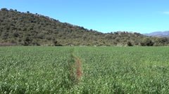 Beaten path through wheat field Stock Footage