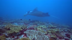 Manta ray (Manta blevirostris) swimming very close - stock footage