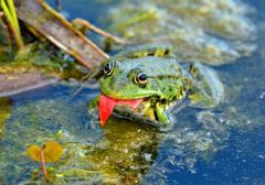 Marsh frog in the swamp Kuvituskuvat