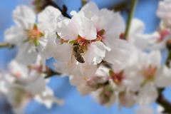 bee on almond tree flower - stock photo