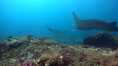 2 Manta ray (Manta blevirostris) swimming over coral reef - stock footage