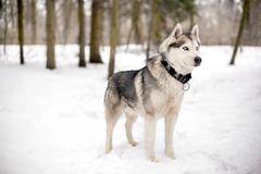 Snow and faithful huski Stock Photos