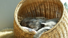 Two kittens playing in basket bed Stock Footage