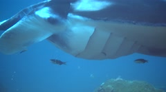 Manta ray (Manta blevirostris) close up eye and gills - stock footage