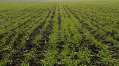 New shoots of a winter wheat on a spring field. Stock Footage