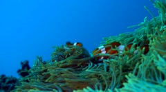 False clown anemonefish or nemo (Amphiprion ocellaris) on moving anemone Stock Footage