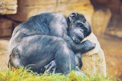 Unhappy ape on a stone Stock Photos