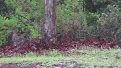 Wildlife tom turkey in forest Stock Footage