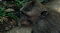 Shot of monkey looking around, super slow motion 240fps Stock Footage