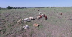 Aerial view of free range cattle in a field Stock Footage