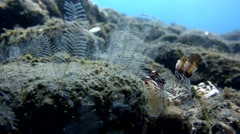 Nudibranch kentrodoris rubescens Stock Footage