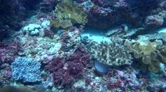 Reef octopus (Octopus Cyanea) crawling on the reef Stock Footage