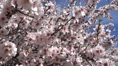 White almond flowers and bees 2 Stock Footage