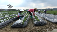 Chinese migrant workers at work on strawberry farm, agriculture in China - stock footage