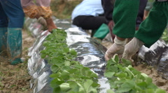China agriculture, hands of farmers at work in a muddy strawberry field Stock Footage