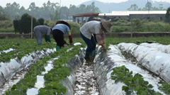 Chinese farmers at work in a strawberry field in Guangdong province Stock Footage