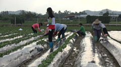 Migrant workers prepare strawberry fields, agriculture in China, Asia Stock Footage