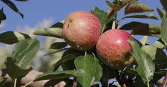 Bunch of red apples growing on a fruit tree Stock Footage