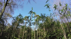 Stock Video Footage of High angle footage of young bamboo plants and bright crisp blue sky 4k