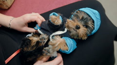 A woman is dressing a small dog Stock Footage
