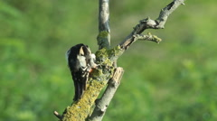 Great spotted woodpecker finding insects and perching on old tree in the forest. Stock Footage
