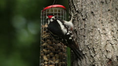 The Great Spotted Woodpecker feeding on a fatball and seeds at a bird feeder Stock Footage