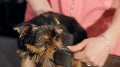 A woman is combing a small dog - stock footage
