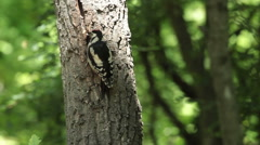 Great spotted woodpecker feed the chicks with insects and nuts in the oak forest Stock Footage