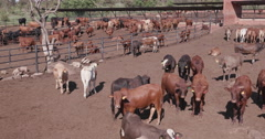 Panoramic view of cattle in a feedlot Stock Footage