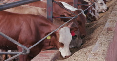 Close-up view of cattle eating in a feedlot - stock footage
