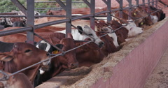 Close-up view of cattle eating in a feedlot Stock Footage