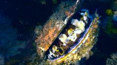 Thorny oyster (Spondylus varius) closing - stock footage