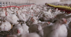 Intensive factory farming of chickens in broiler houses - stock footage