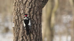 Great spotted woodpecker finding insects on old tree in the winter in oak forest Stock Footage