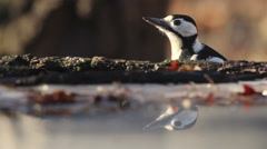 Great spotted woodpecker finding food in the winter near to frozen pond with ice Stock Footage