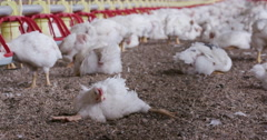Intensive factory farming of chickens often leads to deformities and illness Stock Footage