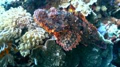 Tasseled scorpionfish (Scorpaenopsis oxycephala) moving Stock Footage