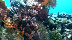 Tasseled scorpionfish (Scorpaenopsis oxycephala) on coral Stock Footage
