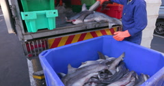 Dead baby sharks being crated for shark fin industry Stock Footage