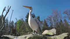Low angle footage of Pelican large water bird 4k Stock Footage