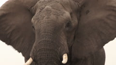 Tight portrait of elephant bull looking aggressively at camera Stock Footage