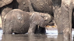 Close-up of mud covered elephant baby drinking from mother Stock Footage