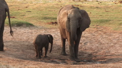 Elephant mother and baby drinking at natural waterhole Stock Footage