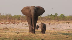 Elephant mother and baby walking towards camera Stock Footage