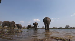 Low angle view of elephants drinking at a river in the Okavango Delta Stock Footage