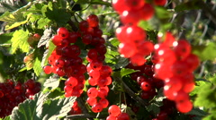 Red Currant on the Branches, Sunny Day Stock Footage