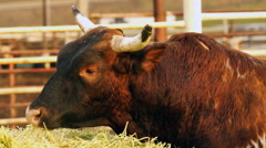 Bull Cow Gets Morning Feeding Washington Country Ranch Stock Footage