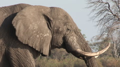 Close-up of elephant bull drinking Stock Footage